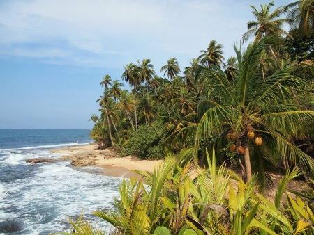 Beach with lush coconut trees in the Caribbean photo