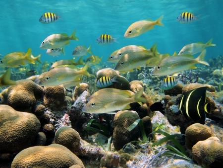 School of tropical fish in a shallow coral reef, Caribbean sea Stock Photo - 14750076