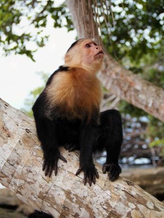 Mono capuchino de cara blanca en el tronco de un �rbol de coco Foto de archivo - 14749997