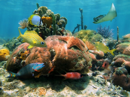 Coral reef with a starfish, a spotted eagle-ray and colorful tropical fish, Caribbean sea photo
