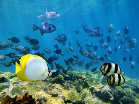 Shoal of tropical fish over a coral reef in the Caribbean sea photo