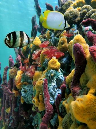 arrecife: Esponjas de colores del mar y peces tropicales en un arrecife de coral con la superficie del agua en el fondo, el mar del Caribe