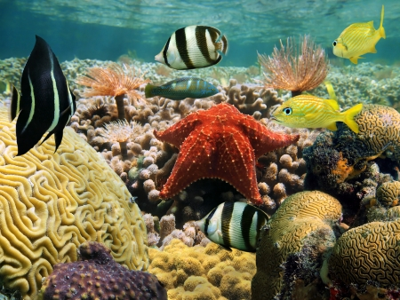oreaster reticulatus: Garden of coral just beneath the water Stock Photo