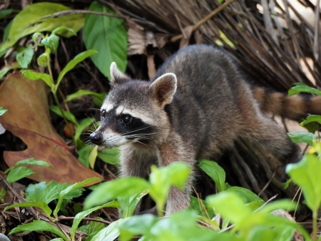 wildlife refuge: Raccoon in the jungle of the national park of Cahuita, Caribbean, Costa Rica