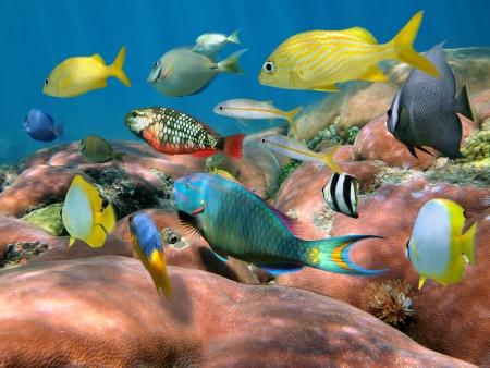 Banc de poissons colorés sur corail massif, la mer des Caraïbes