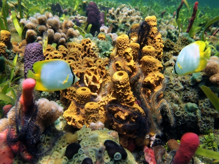 Underwater colors of sea sponges,brittle star, and butterfly fish in a coral reef, Caribbean sea Stock Photo - 15207085