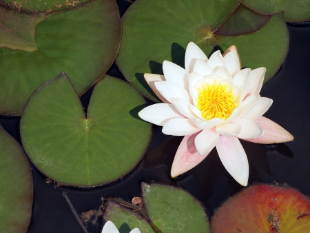 Water-lily leaf and flower on a pond photo