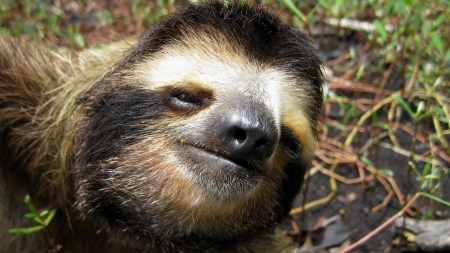 brown throated: Head of a Three-toed sloth, Bradypus variegatus Stock Photo