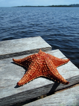 oreaster reticulatus: Red Cushion starfish on a dock with the sea in background