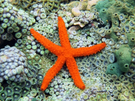 seabed: Comet sea star, Ophidiaster guildingi over seabed covered with anemones