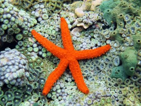 estrella de mar: Cometa estrella de mar, Ophidiaster guildingi sobre lecho marino cubierto con las anémonas