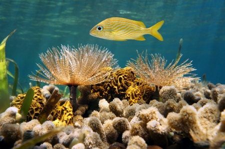 French grunt fish above feather duster worms, tube sponge and corals in the Caribbean sea photo