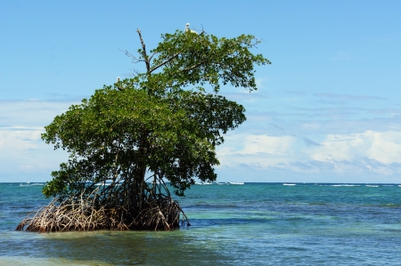 Mangrove island in the archipelago of Bocas del Toro,Caribbean sea, Panama photo