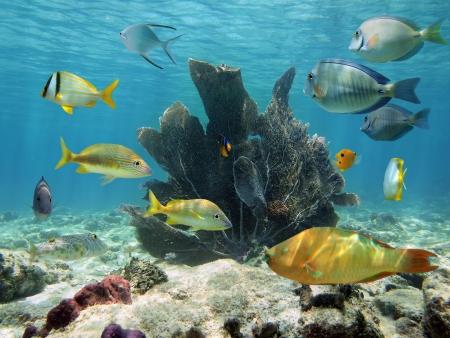 Ventilateur de mer avec des poissons tropicaux colorés et des eaux de surface en arrière-plan, la mer des Caraïbes