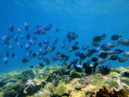 surgeonfish: Shoal of Blue Tang fish and Ocean Surgeonfish over a coral reef, Caribbean sea