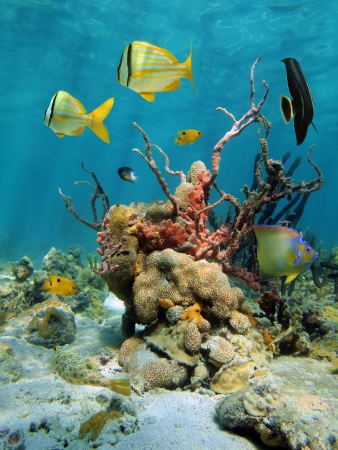 Colorful underwater scenery with coral, tropical fish and sea sponges, Caribbean sea