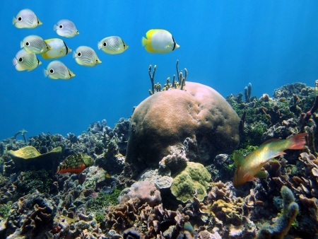 Shoal of butterflyfish above a coral reef, Caribbean sea photo