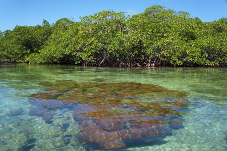 archipelago: Hard coral just under water surface with mangrove trees in background