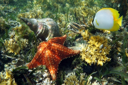 Cushion starfish with an Atlantic Triton Trumpet sea shell and a butterflyfish, Caribbean sea Stock Photo