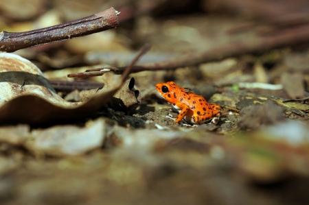 rana venenosa: Strawberry dardo venenoso sapo, Oophaga pumilio, Parque Nacional Bastimentos, Bocas del Toro, Panamá