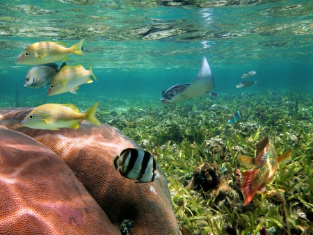 colon panama: Under water sea life with an eagle ray and tropical fish in an shallow coral reef Stock Photo