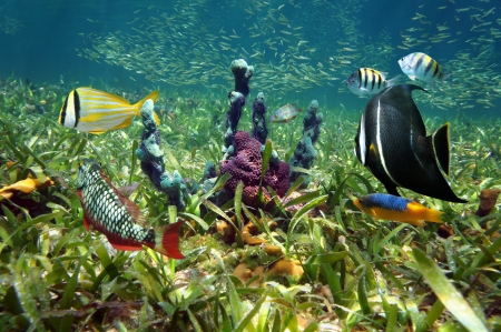 Colorful sea sponges and tropical fish in shallow seabed of turtle grass Stock Photo