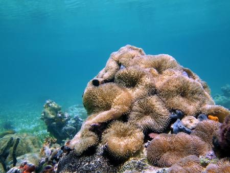 Thriving sea anemones under water surface, Caribbean sea, Costa Rica photo