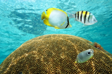catalina: Photo of tropical fish above brain coral with water surface in background, Caribbean sea, Dominican Republic