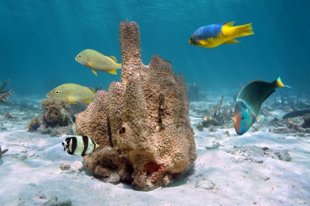 Branching tube sponge,Pseudoceratina crassa, with colorful tropical fishes around, Caribbean sea, Jamaica photo