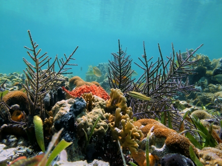 Coral garden with starfish  in the calm waters of the Caribbean sea, Costa Rica