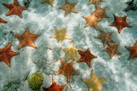 Beaucoup d'étoiles de mer coussin sur un fond de l'océan de sable, atlantique, îles Bahamas