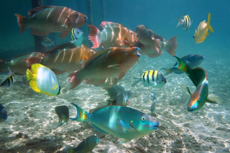 Shoal of colorful tropical fish in the Caribbean sea, Belize Stock Photo - 19622298