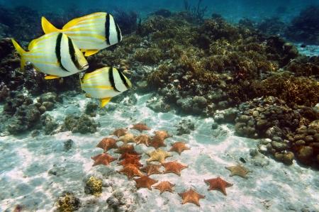 thriving: Abundant cushion starfish on sandy ocean floor in a coral reef, Atlantic, Bahamas islands