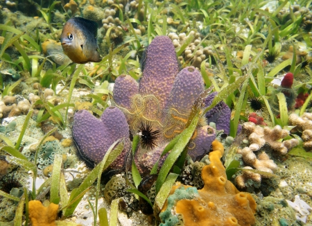 branching: Colorful Branching tube sponge,Pseudoceratina crassa, with Brittle star in a coral reef, Caribbean sea