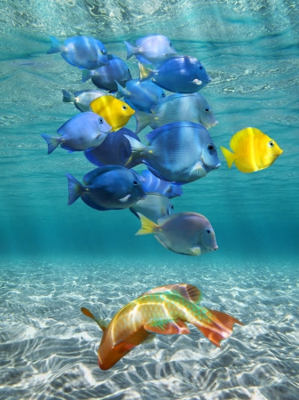 school of fish: Underwater sunlight with shoal of colorful fish above a sandy sea floor, Caribbean sea