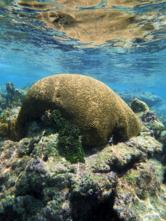 Brain coral on shallow reef reflected in the water surface, Caribbean sea, Mayan Riviera, Mexico Stock Photo - 20410674