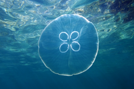 moon fish: Moon jellyfish, Aurelia aurita with water surface in background