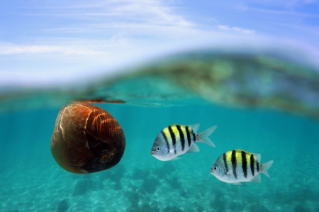 A coconut drifting with two Sergeant Major fish just under water surface Stock Photo - 20614030