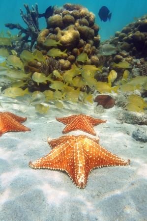 cushion sea star: Sea stars in a coral reef with school of fish in background, Caribbean sea