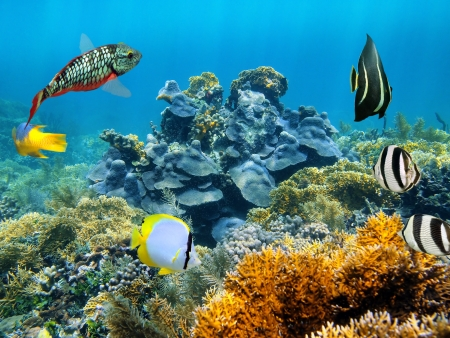 san pedro: Healthy coral reef with colorful tropical fish, Caribbean sea