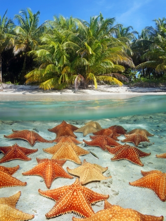 oreaster reticulatus: Split view with coconut trees on a tropical beach above, and underwater, many cushion starfish on sandy ocean floor