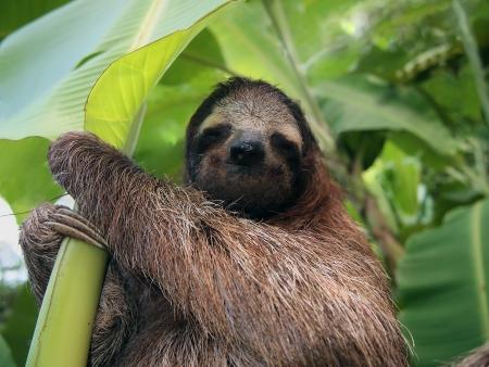 sloth: Perezoso de tres dedos en un ?rbol de pl?tano, Costa Rica Foto de archivo