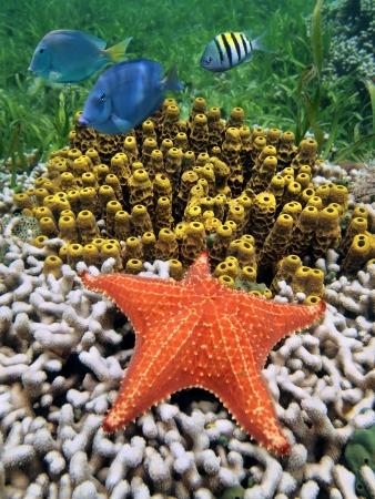 カラフルなサンゴとチューブのスポンジ、カリブ海、コスタリカにヒトデを海洋生命の水の下で