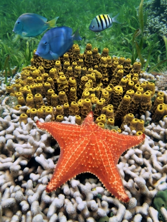 oreaster reticulatus: Colorful under water marine life with a starfish over coral and tube sponges, Caribbean sea, Costa Rica Stock Photo