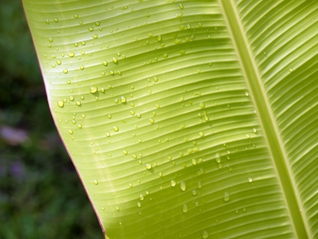 Close-up view of banana leaf with water droplets photo