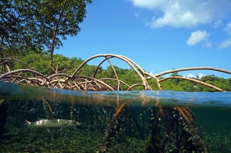 Oppervlak en onderwater uitzicht in de mangrove wortels, Caribische zee, Bocas del Toro, Panama