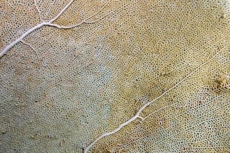 Detail of a sea fan, Gorgonia ventalina, Caribbean sea, Puerto Rico photo