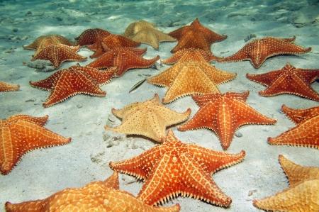 etoile de mer: Beaucoup d'étoiles de mer coussin sur un fond de l'océan de sable