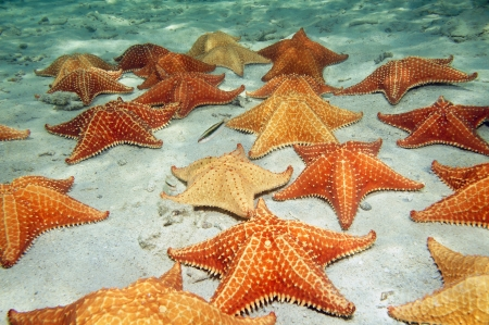 greater: Plenty of cushion starfish on a sandy ocean floor