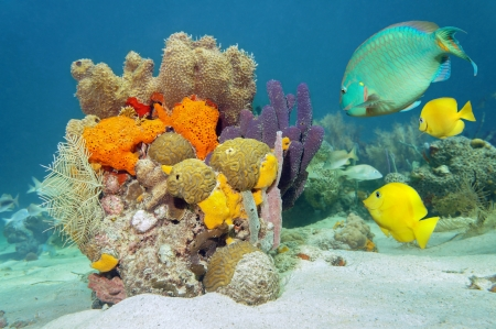 Colors of marine life underwater with tropical fish, coral and sea sponges, Atlantic ocean photo